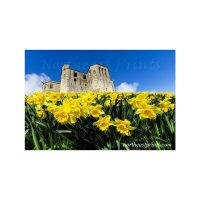 Daffodils at Warkworth Castle